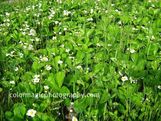 Wild strawberries-ground cover