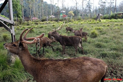 Kawasan rusa wisata ranca upas