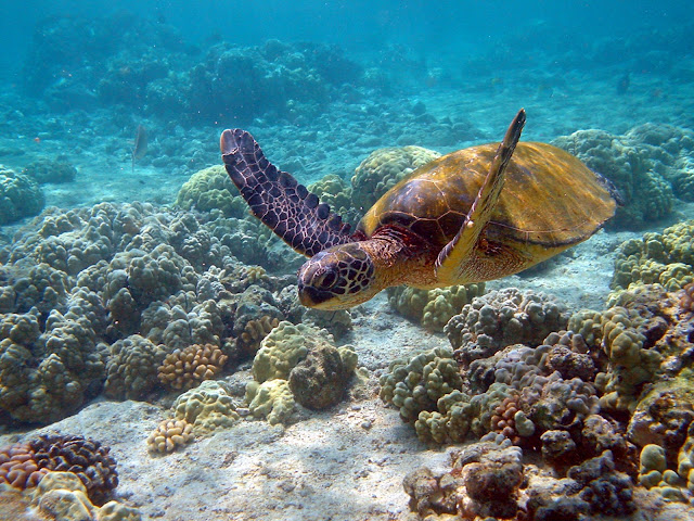 Sea turtles struggle years after unexplained die-off