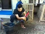 Memandikan Ayam Bangkok