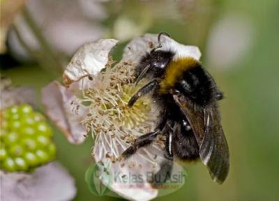 Figure A bee is looking for nectar provided flowering plants, the effect is the pollen stuck in the body of bees and fertilize the pistil.