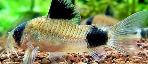 Ciri Morfologi, Karakteristik dan Jenis Ikan Corydoras yang Terkenal Dan Terlengkap
