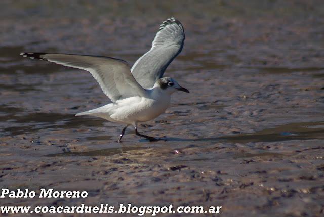 """alt=""""gaviota chica,Leucophaeus pipixcan,aves de Mendoza,gaviota de Mendoza"""""""