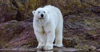 Polar bear on land (Photo Credit: Roger Pimenta) Click to Enlarge.