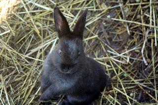 Black Bunny.