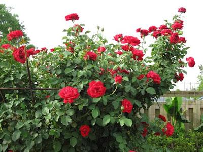 phân bón hoa hồng