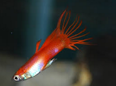 jenis Ikan Guppy German Platinum Crown Tail
