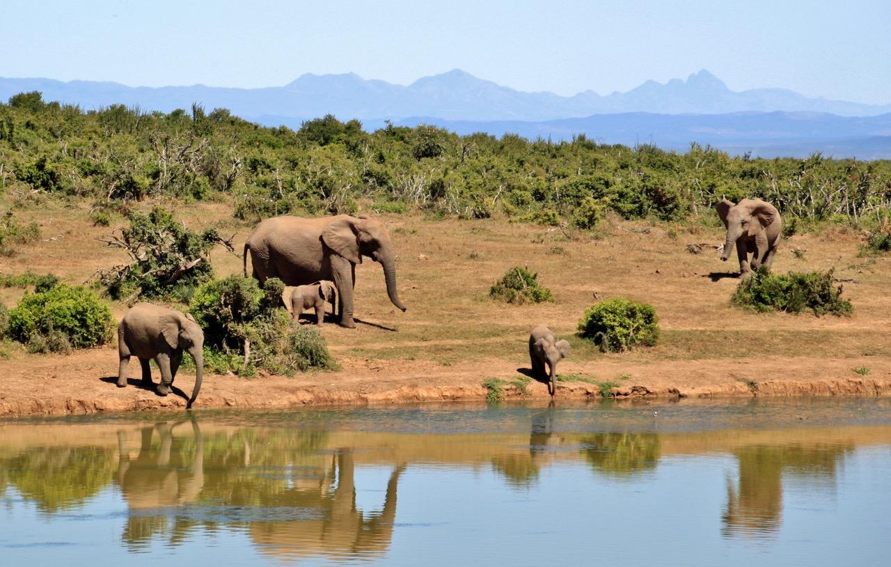 African Elephants in Savannah