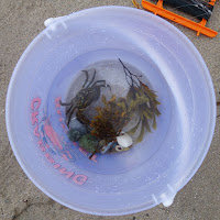 a crab called Jeff caught at Morfa Nefyn