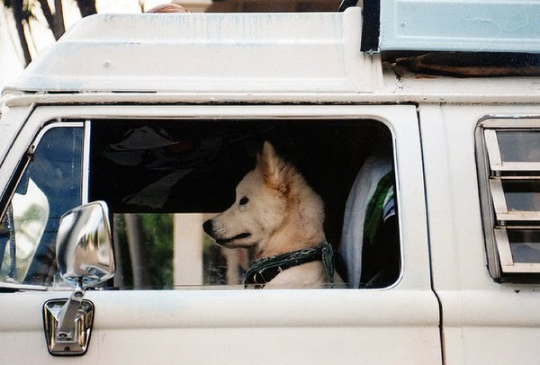 driving cars dogs cool funny dog animals drive awesome driver seat wheel belts don drives forget guys wear
