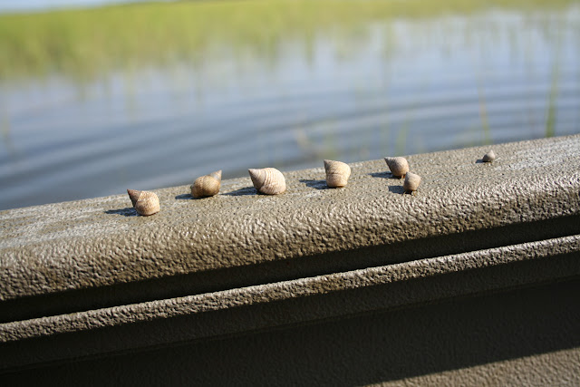 Periwinkle snails on Marsh Grass in Charleston, SC | The Lowcountry Lady