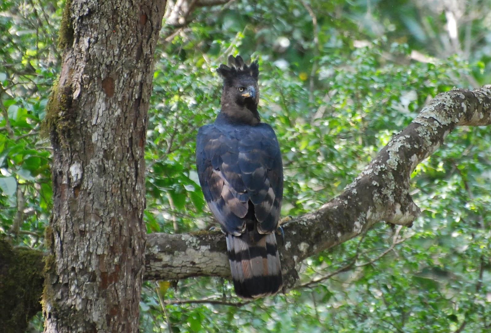 Harpy eagle hunting monkey - photo#42