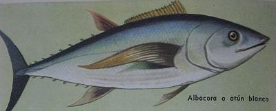 Dibujo de atún blanco o albacora