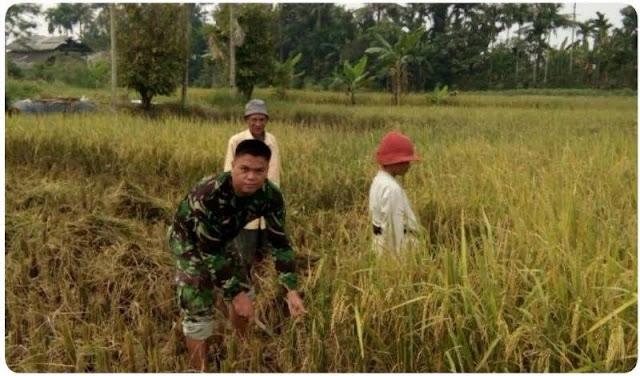 Anggota Tentara ini Bantu Petani Panen Padi GOGO di Desa Hinalang