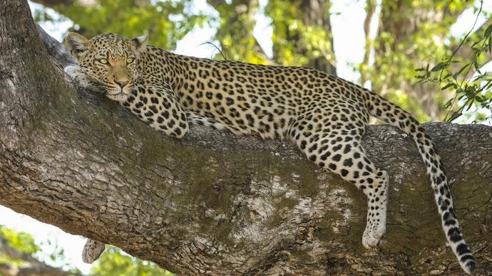 Wallpaper: Safari Wildlife Animal Leopard