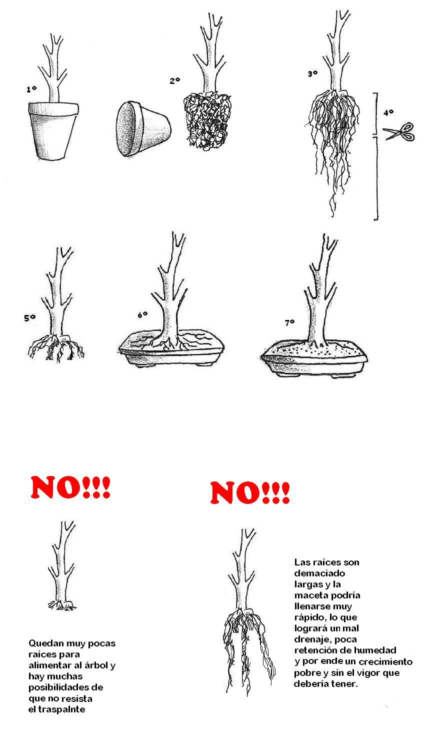 Bonsai barbero t cnica para engrosar los troncos de los - Poda de hortensias en maceta ...