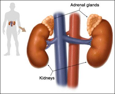 Kidney-Adrenal Relationship