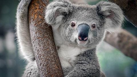 Koala Nasıl Bir Hayvan