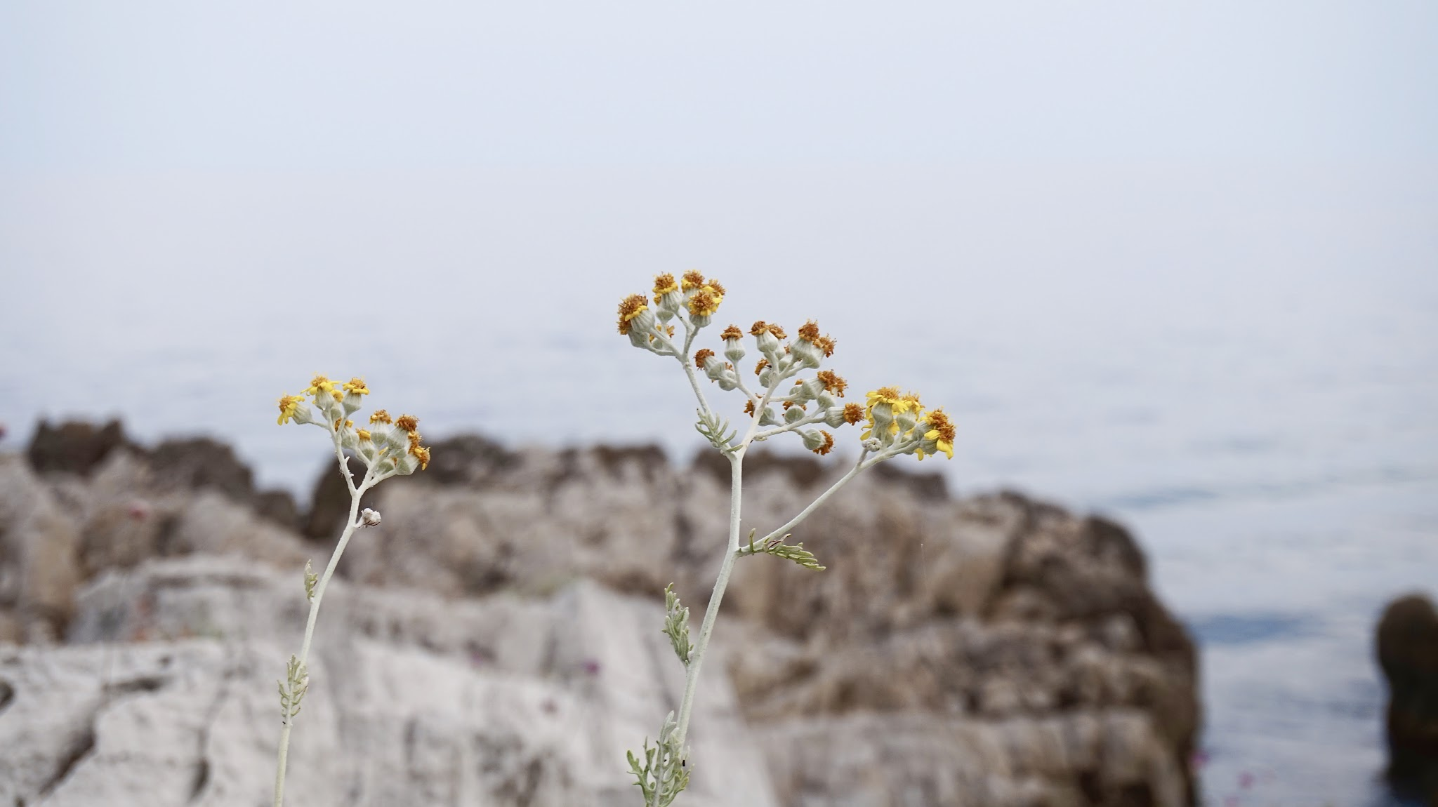 yellow flowers growing out of a rock on a backdrop of the sea