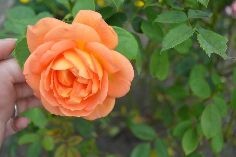 Hradec králové, rosarium, rozárium, 2014, zlatá růže hradce králové, česká republika, czech republic, rose, růže