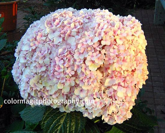 Giant hydrangea flower head-close up