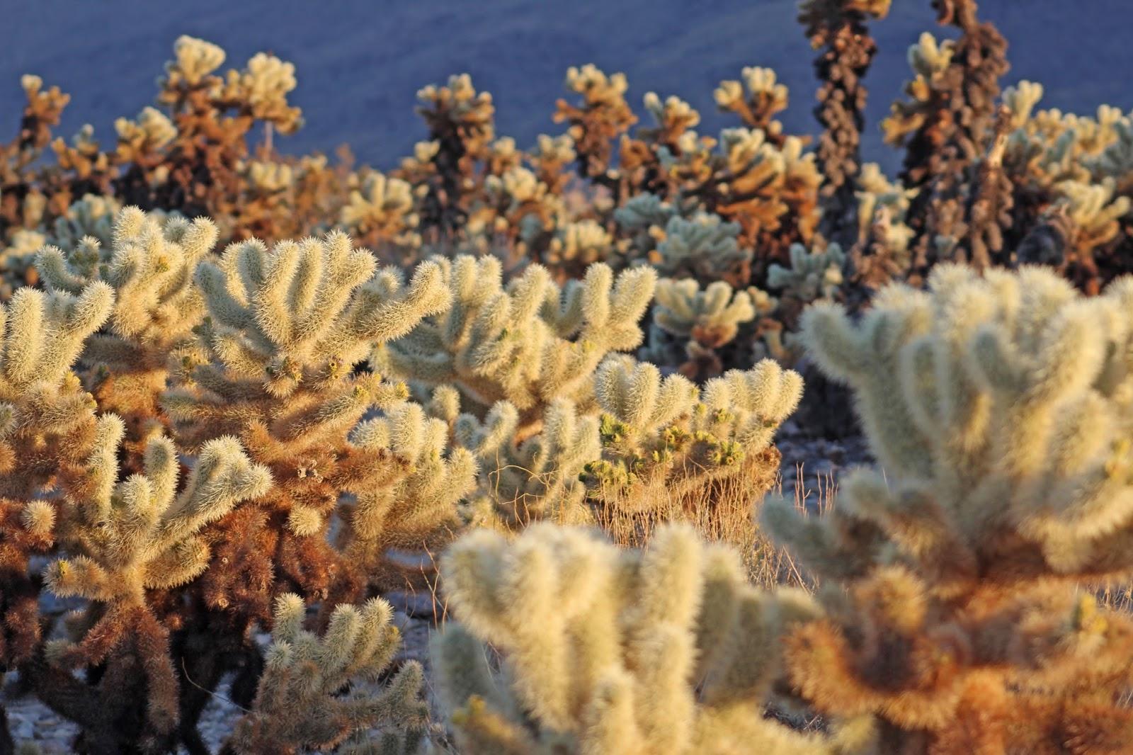 cholla cactus garden sunset 6