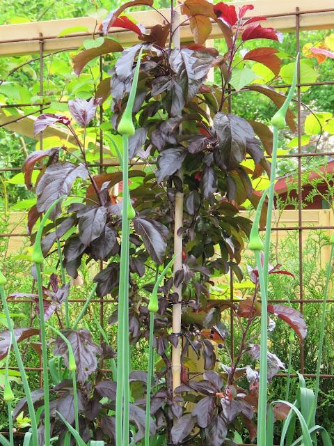 Vinrød busk mot en allium i knopp i Lotties Trädgård. Trädgårdsrundorna i Helsingborg.