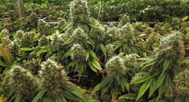 Key medical marijuana issue goes to Supreme Court