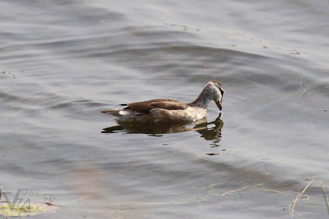 Cotton Pygmy-Goose or cotton teal (26 cm) female - Davangere