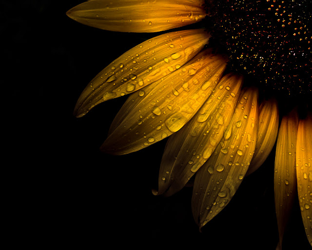 Backyard Flowers 28 Sunflower by The Learning Curve Photography