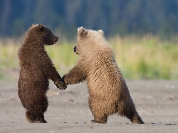 Funny grizzly bear cubs |Funny Animal