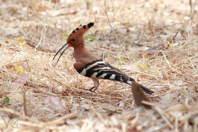 ‎Hoopoe, patrolling the grounds