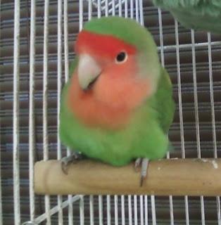 lovebird mencret