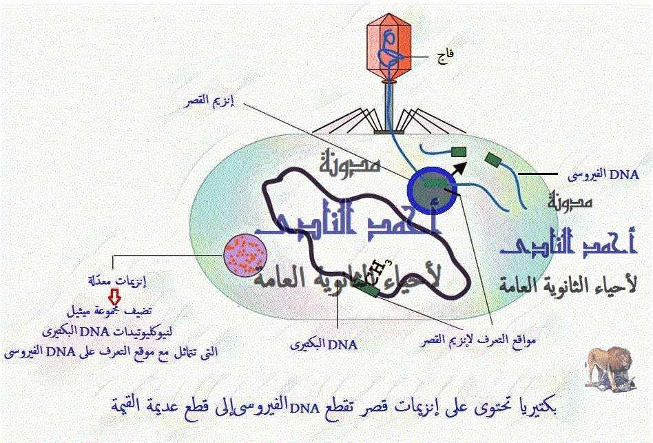 إنزيمات القصر ( القَطع )  البكتيرية  - أحياء الثالث الثانوى - إيشيريشسا كولاى e.coli - الإنزيمات المعدلة