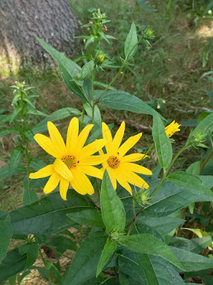 and these are: prairie coreopsis?