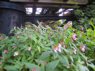 Impatiens glandufliera - Indian Balsam