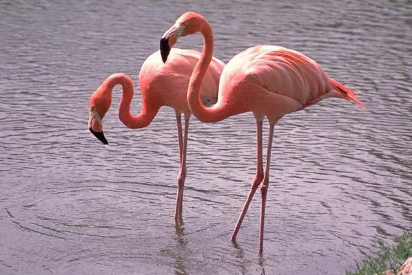 Assim como o flamingo cor-de-rosa adquire sua coloração através das algas com as quais ele se alimenta, o guará também obtém seu tom vermelho dos crustáceos que compõem sua dieta.
