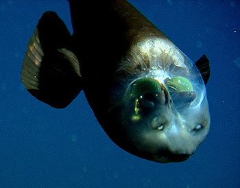 Peixe parece ser de outro planeta!