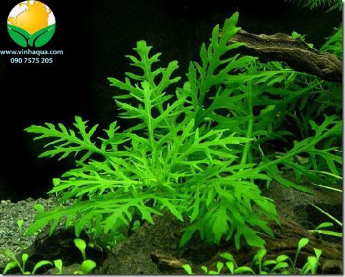 Phụ kiện thủy sinh - cây thủy cúc trồng hậu cảnh