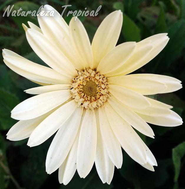 Flor de una Margarita del Japón o Japonesa, Gerbera jamessonii
