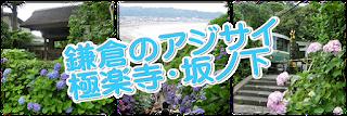 あじさい:極楽寺・坂ノ下