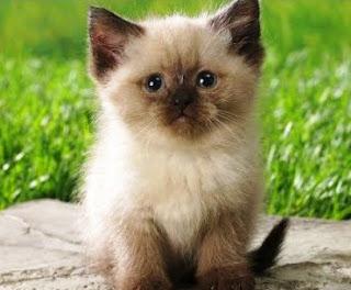 Asal-Usul Jenis Kucing Persia Himalaya