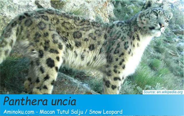 Fakta unik macan tutul salju
