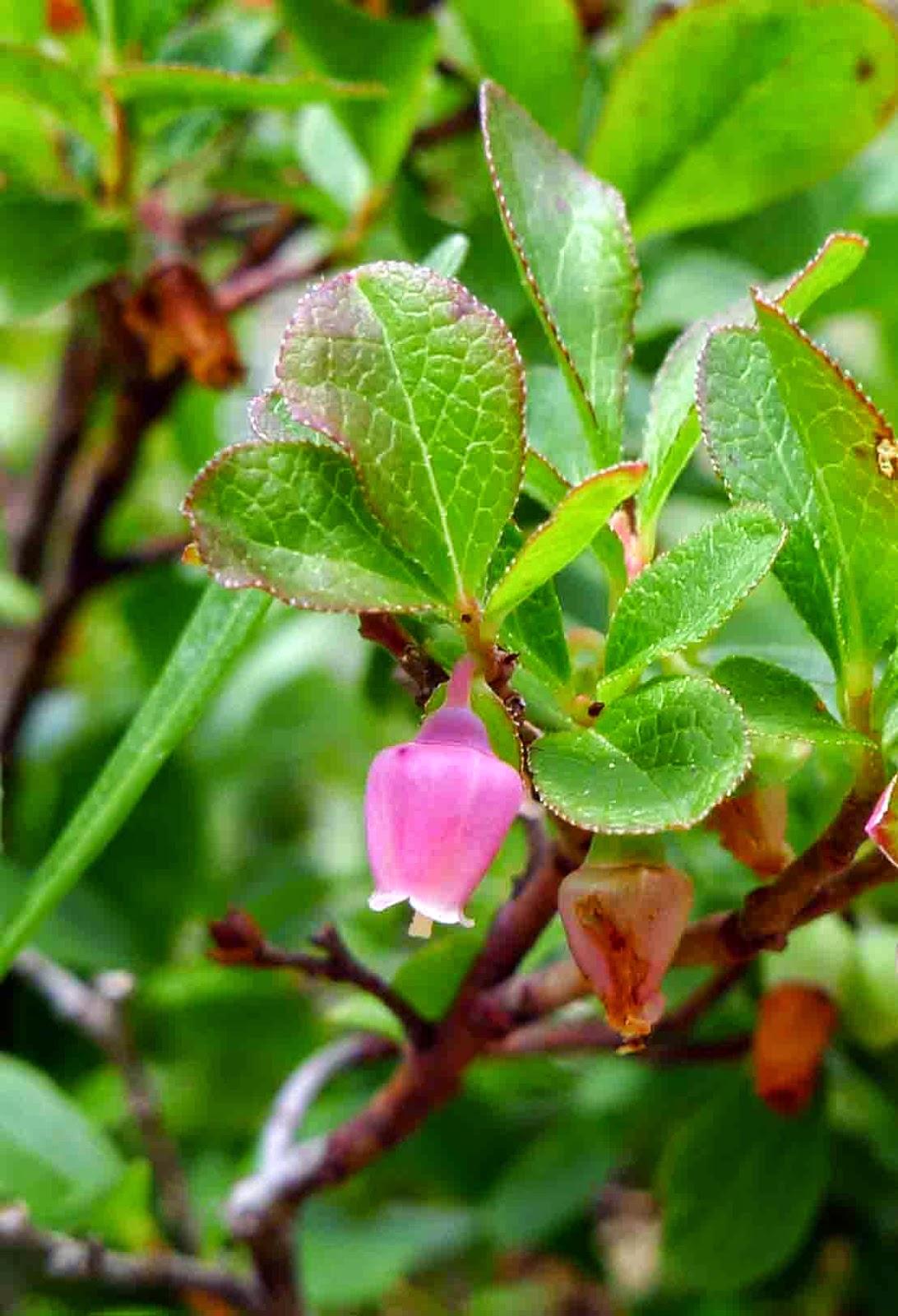 Wild Harvests: Mountain Berries: Huckleberries, Bilberries ...