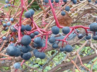 Vigne vierge vraie - Parthenocissus quinquefolia
