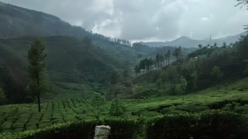 mist filled tea gardens in  munnar