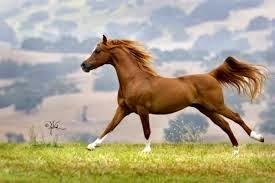 Kuda Arab