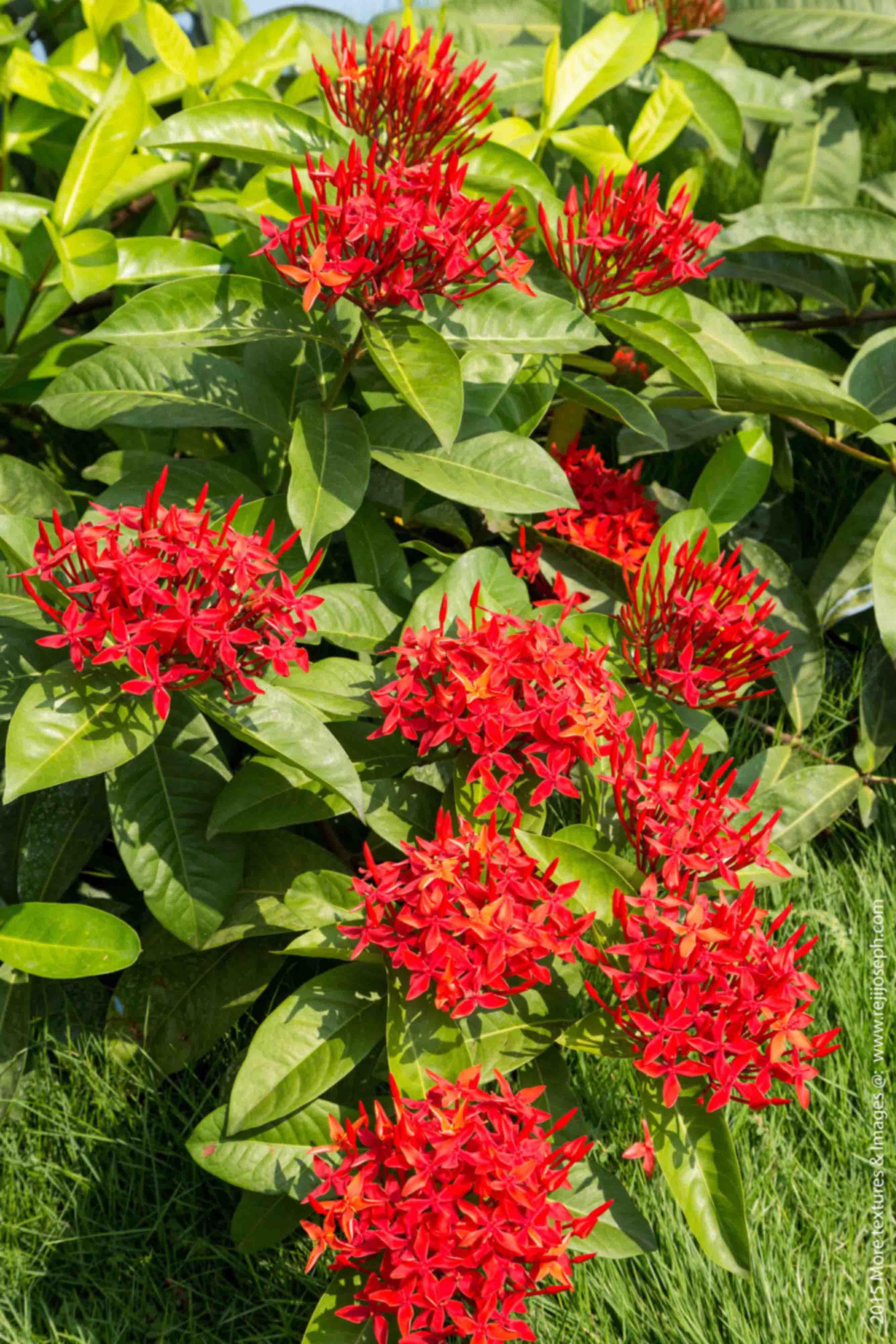 Ixora coccinea flower 00002