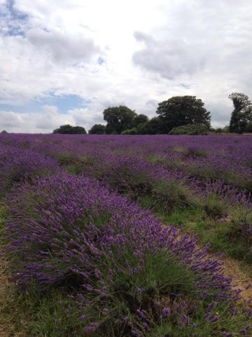 Lavender Field in Surrey, UK