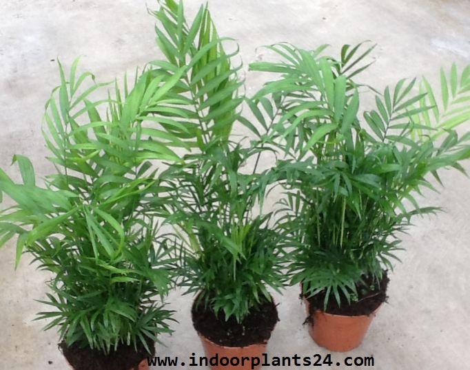 Chamaedorea elegans palmae parlor palm indoor plant details indoor plants guide all about - Suitable indoor plants ...
